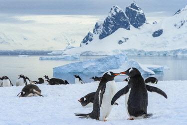 AN02YCH0027 Antarctica, Antarctic Peninsula, Danco Island. Gentoo penguin courtship.