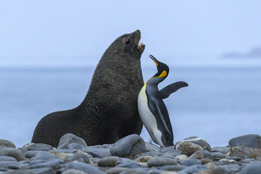 AN02YCH0062 Salisbury Plain, South Georgia Island. Fur seal blocks King penguins route to the sea.