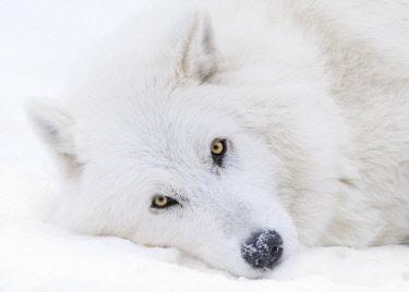 CN01YCH0009 Canada, Alberta, Yamnuska Wolfdog Sanctuary. White wolfdog portrait.
