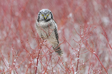 CN02YCH0014 Canada, British Columbia. Northern hawk owl perched on blueberry bush.