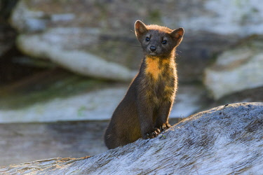 CN02YCH0018 Canada, British Columbia. Pine marten poses on driftwood.