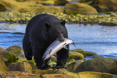 CN02YCH0032 Canada, British Columbia. Black bear with freshly caught Coho salmon.