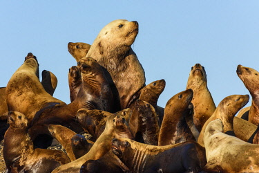 CN02YCH0033 Canada, British Columbia. Steller sea lions in Clayoquot Sound.