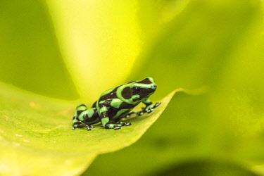 SA22BJY0234 Costa Rica, La Paz River Valley. Captive black and green poison dart frog in La Paz Waterfall Garden