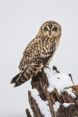 CN02YCH0066 Canada, British Columbia, Boundary Bay. Short-eared owl perched on driftwood in winter.