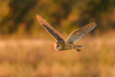 CN02YCH0086 Canada, British Columbia, Boundary Bay. Barn owl on the hunt.
