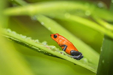 SA22BJY0187 Costa Rica, Sarapiqui River Valley. Strawberry poison dart frog on plant