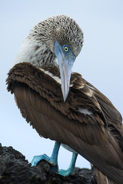 SA07YCH0008 Ecuador, Galapagos Islands, Santa Cruz. Black Turtle Cove, Blue-footed booby perching.