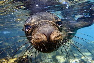 SA07YCH0012 Ecuador, Galapagos Islands, Santa Fe Island. Galapagos sea lion swims in close to the camera.