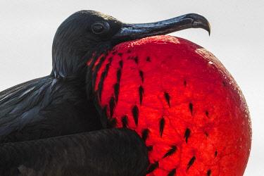 SA07YCH0019 Ecuador, Galapagos Islands, Genovesa Island. Great frigatebird portrait.
