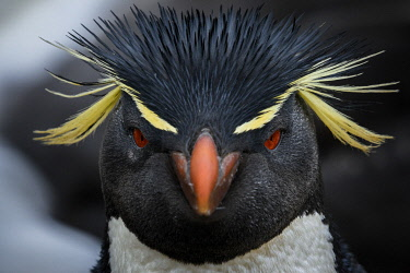 SA09YCH0003 Falkland Islands, West Point Island. Southern rockhopper penguin portrait.