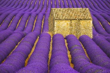 EU09BJY0053 France, Provence, Valensole Plateau. Lavender crop surrounds stone hut