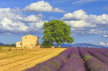 EU09BJY0060 France, Provence, Valensole Plateau. Lavender rows and farmhouse