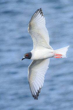 SA07YCH0030 Ecuador, Galapagos Islands, Espanola Island. Swallow-tailed gull flying.