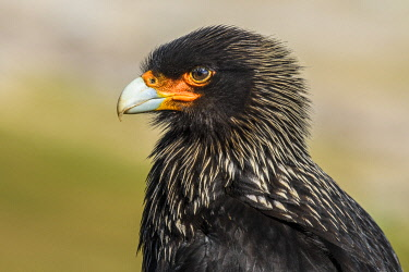 SA09YCH0007 Falkland Islands, Saunders Island. Striated Caracara portrait.