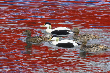 EU21YCH0015 Norway, Svalbard, Spitsbergen. Longyearbyen, Common eiders ducks swim past a large red ship.