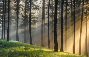 US38YCH0009 USA, Oregon, Blue Mountains. Light rays through forest of Ponderosa pine.