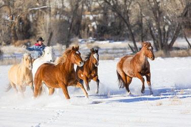 US51DGU0190 Cowboy horse drive on Hideout Ranch, Shell, Wyoming. Cowboy running horses through the snow. (MR, PR)
