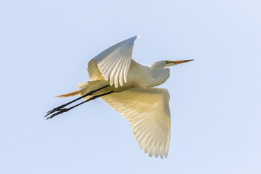 US19BJY0179 USA, Louisiana, Evangeline Parish. Great egret in flight