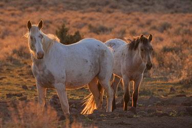 NA02KAR1101 Wild horses at sunset