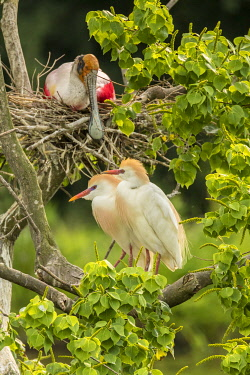 US19BJY0289 USA, Louisiana, Vermilion Parish. Cattle egret pair and nesting roseate spoonbill