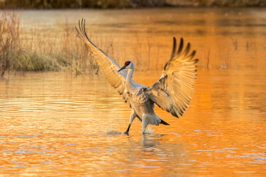US32BJY0429 USA, New Mexico, Bosque del Apache National Wildlife Refuge. Sandhill crane landing in water at sunset