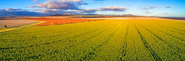 AUS3310AW Field of sunflowers. Quirindi, The Hunter, New South Wales, Australia