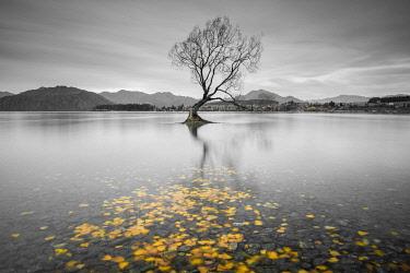 NZ9350AW Lone Tree and yellow leaves. Lake Wanaka, Otago, South Island, New Zealand