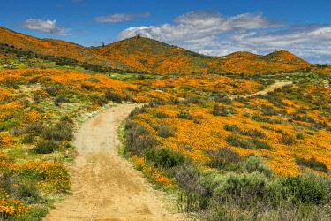 USA14639AW Path Through Super Bloom of California Poppies, near Lake Elsinore, California, USA