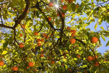 SPA9543AWRF Orange tree and sunshine, Seville, Andalucia, Spain