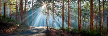 AUS3673AW Early moring sun rays stream through Karri trees at Boranup Forest in the Margaret River region of south west WA.  Margaret River, South West, Western Australia, Australia