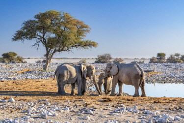 NAM6665AW African bush elephants or Loxodonta cyclotis, Etosha National Park, Kunene, Namibia