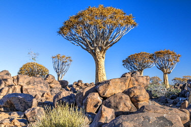 NAM6677AW Quiver Tree or Aloidendron dichotomum, Quiver Tree Forest, Keetmanshoop, Karas, Namibia