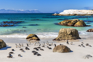 SAF7619AW African penguins (Spheniscus demersus), Boulders Beach, Simon's Town, Cape Town, Western Cape, South Africa