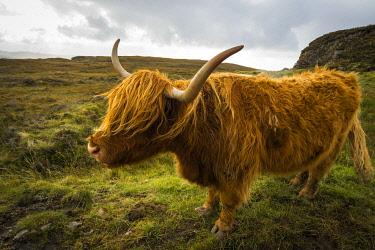 SCO35523AW Highland cattle on grassland, near Kilmarie, Isle of Skye, Scotland, United Kingdom