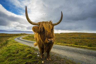 SCO35524AW Highland cattle on roadside, near Kilmarie, Isle of Skye, Scotland, United Kingdom