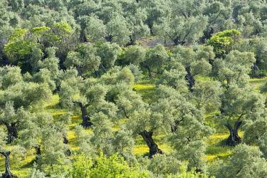 HMS3287212 Spain, Andalucia, Cadiz Province, Zahara de la Sierra, Sierra de Grazalema natural parc, Ruta de los Pueblos Blancos (white villages road), olive trees