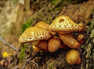 POL2338AW Honey fungus (Armillaria mellea), Gorge Korzeniowy Dol, Kazimierz Dolny, Lublin Voivodeship, Poland