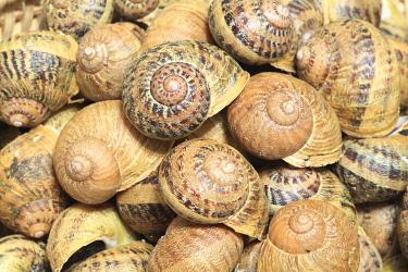 HMS3437907 France, Saone et Loire, Briant, helicultural farm L'Escargot Brionnais, big gray snails (Helix aspersa maxima)