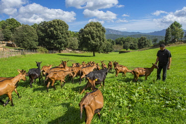 HMS3408717 France, Corse du Sud, Alta Rocca, Gislain Mariani, farmer and his flock of goats in the meadows south of the village of Quenza