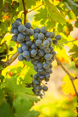 HMS3409242 France, Haute Corse, Aleria, Eastern plain, around the pond of Diana the grapes of the vineyard has reached maturity just before the harvest, close up on bunch of black grapes