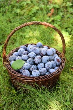 HMS3405532 France, Territoire de Belfort (90), Belfort, garden, plum Quetsche d Alsace (Prunus domestica), picking at the end of summer, fruit basket