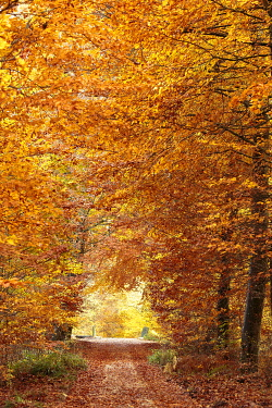 France, Seine et Marne, Fontainebleau and Gatinais Biosphere Reserve, Fontainebleau forest listed as Biosphere Reserve by UNESCO, the forest in autumn in the Table du Roi area