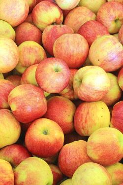 HMS3452473 France, Indre et Loire, Sepmes, Vergers de la Manse (member of the Vergers Ecoresponsables label), Jonagored apples