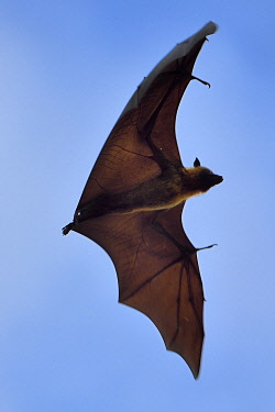 HMS3433518 France, Mayotte island (French overseas department), Grande Terre, Nyambadao, Sakouli beach, Giant bat, called Seychelles flying fox (Pteropus seychellensis comorensis)