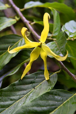 HMS3433521 France, Mayotte island (French overseas department), Grande Terre, Ouangani, ylang ylang (Cananga odorata) flower and their foliage
