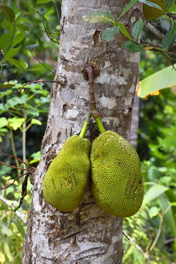 HMS3433537 France, Mayotte island (French overseas department), Grande Terre, Ouangani, Jackfruit tree (Artocarpus heterophyllus)