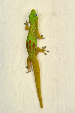 HMS3433557 France, Mayotte island (French overseas department), Grande Terre, Nyambadao, gold dust day gecko (Phelsuma laticauda)