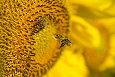 HMS3319950 France, Midi-Pyrénées, Gers, Lectoure, bees on a sunflower