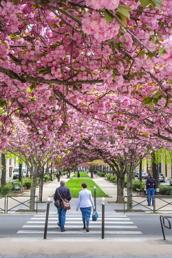 HMS3276502 France, Paris, the Vivaldi alley lined with prunus in bloom is part of the Coulee Verte Rene-Dumont (former Promenade Plantee), on the site of an old railway line